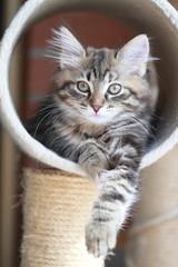 Cucciola di gatto siberiano,color torti