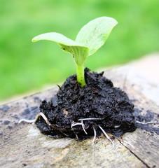 graine qui germe,petite plantule de légume