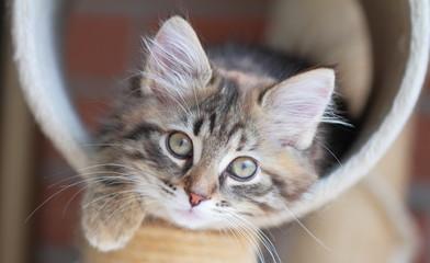 Cucciola di gatto siberiano tricolore