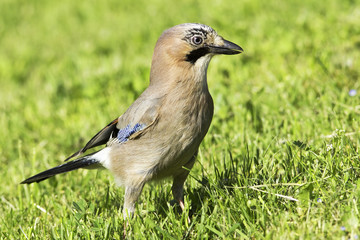 eurasian jay searching for insects / Garrulus glandarius