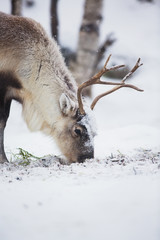 Reindeer Eat Grass in a Winter Forest