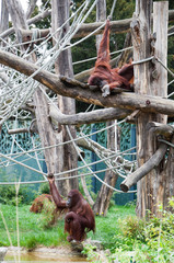 two orangutans in a playground