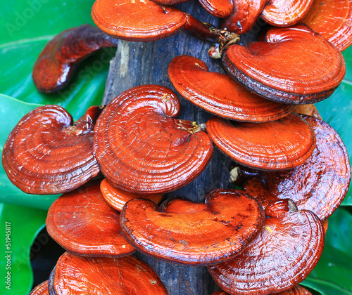Mushroom farm; Ganoderma lucidum