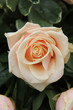 pale pink wedding roses