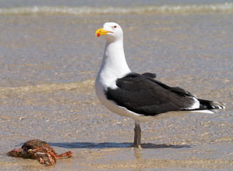 A big Great Black-backed Gull guarding a crab.