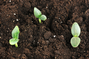 Green seedling growing from soil close-up.