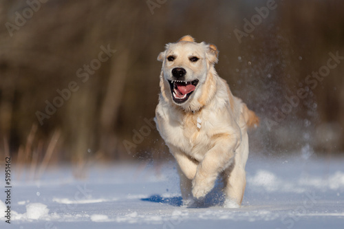 Running Golden Retriever