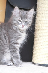 Cucciolo di gatto siberiano color blu