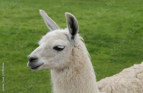 A Beautiful Llama Standing in a Grass Field.