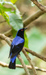 Deep color of male Asian Fairy-bluebird catch on the tree