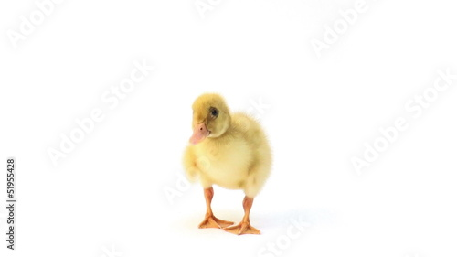 Duckling looking around and shaking on white background
