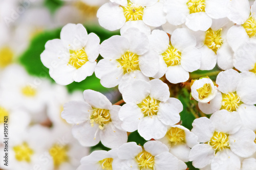 Deurstickers Macro Beautiful white flowering shrub Spirea aguta (Brides wreath).