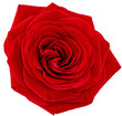 Beautiful single red  rose flower. Isolated.
