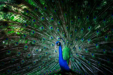 beautiful peacock with feathers