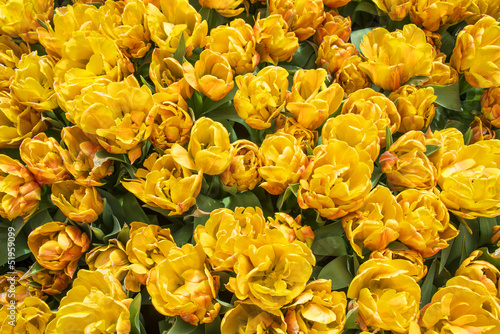yellow tulips in the garden