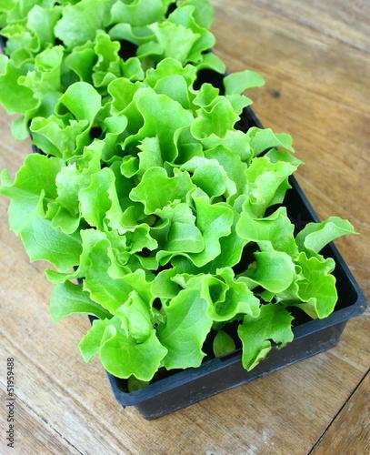 plants de salade en barquette photo libre de droits sur la banque d 39 images image. Black Bedroom Furniture Sets. Home Design Ideas