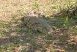 dangerous crocodile in Kruger National  Park, South Africa