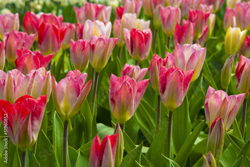 pink tulips in the spring garden