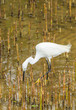 The Little Egret (Egretta garzetta) walking to find some food