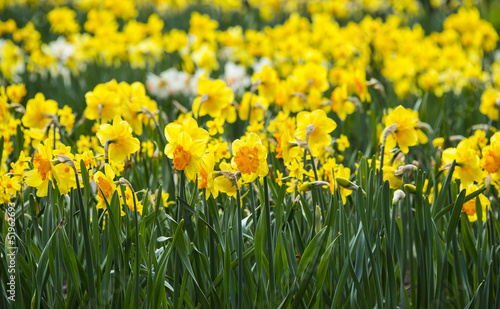 Poster Narcis daffodils in the garden