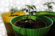 Young plant of tomato growing in pot