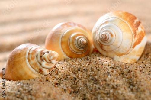 Fototapeta sea shells on the sandy beach