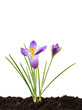 Purple crocus on brown fresh soil isolated on white