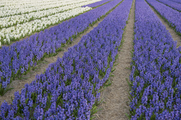field with hyacinths