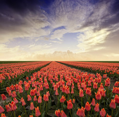 tulips field and sunset sky