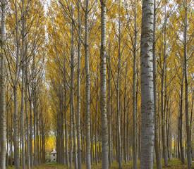 BOsque de ribera en otoño (Aguilar de Campoo,Palencia)