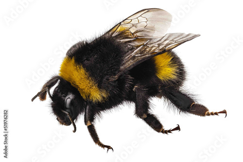 Foto op Canvas Bee Bumblebee species Bombus terrestris