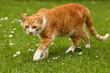 Rote Katze schleicht sich an