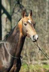 portrait of ahalteke beautiful stallion in spring forest.