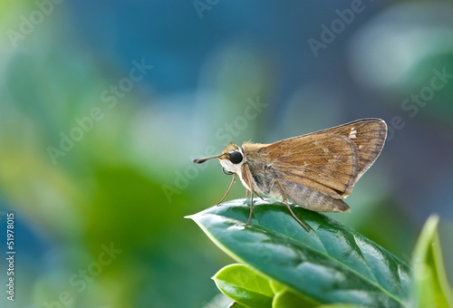 Skipper butterfly perched on leaf