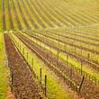 Chianti region, vineyard pattern or background. Tuscany, Italy