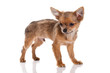 Chihuahua dog on white background.