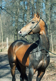 beautiful ahalteke  stallion in spring forest