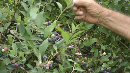 Fresh blueberry picking