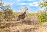 Wild Reticulated Giraffe, African landscape in Kruger Park poster