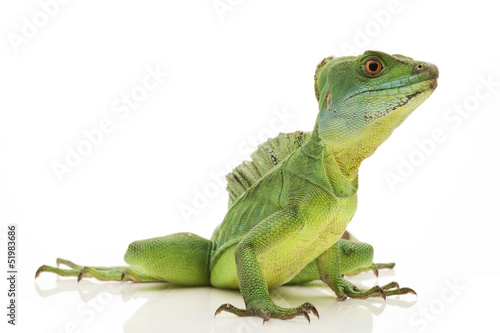 Green basilisks - 51983686