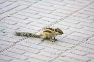 Chipmunk in India