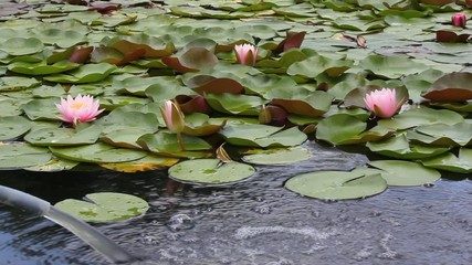 Water flows into the lotus pond