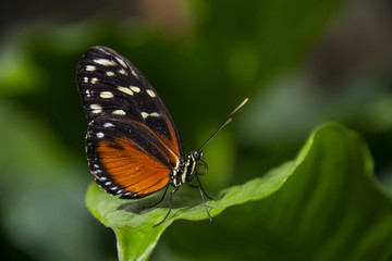 an orange tropical butterfly sitting on a leaf