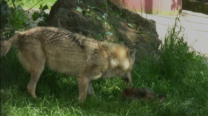 Hungry wolf  feeding