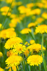 Plant of yellow  dandelions