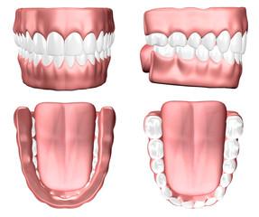 Denti gengive, tavola anatomica, illustrazione