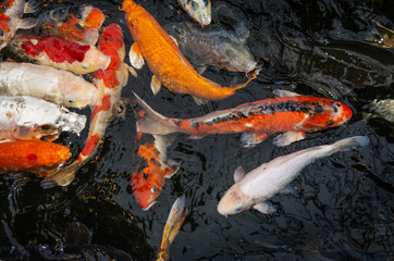 koi carps in a pond