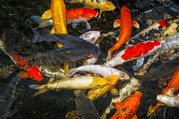 koi carps close up