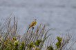 Yellow wagtail singing