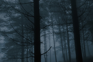 Foggy pinewood at dusk